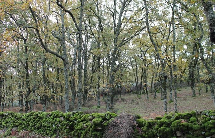 Bosque de robles Camino de los Rodales
