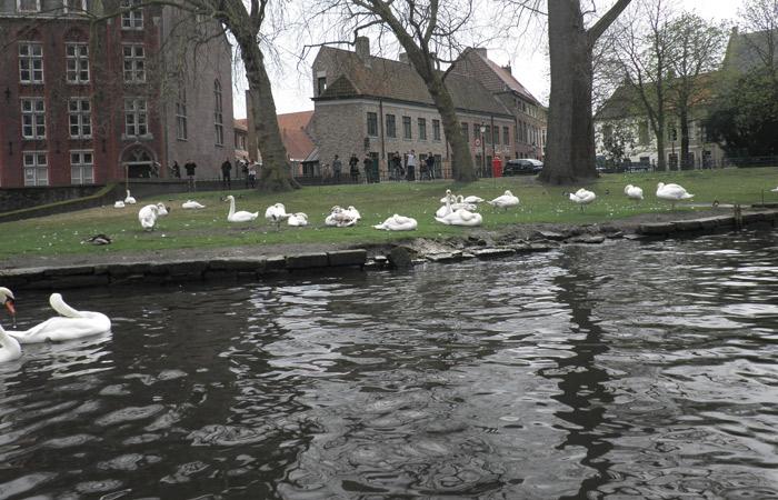 Cisnes durante el paseo en barca qué ver en Brujas en un día