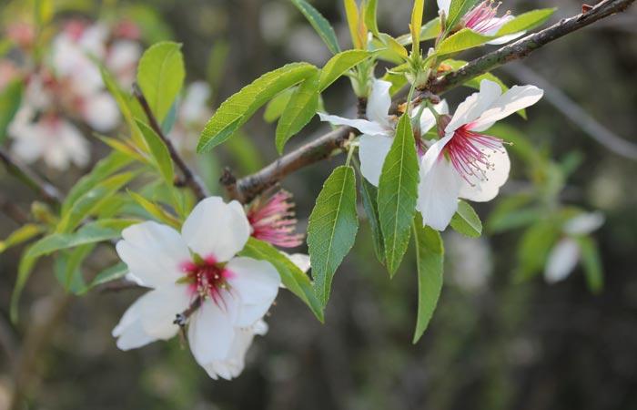 Almendro en flor senderismo en Portugal