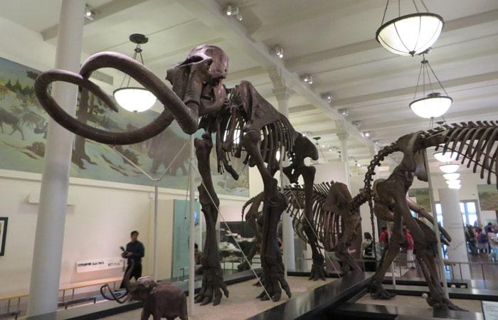 Esqueleto de mamut en el Museo Americano de Historia Natural