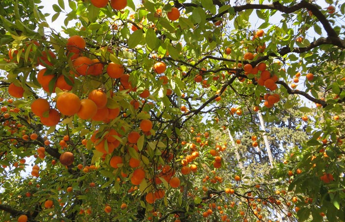 Naranjos en el patio de los Reales Alcázares monumentos de Sevilla