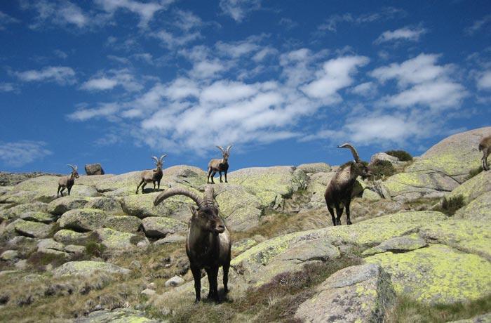 Grupo de cabras Laguna Grande de Gredos