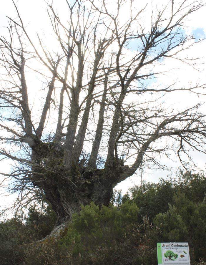 Castaño centenario Monsagro rutas por la Sierra de Francia
