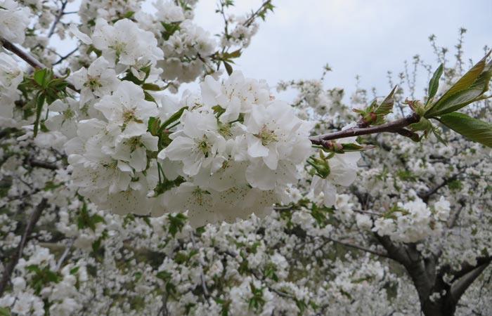 Flor del cerezo senderismo en Las Hurdes