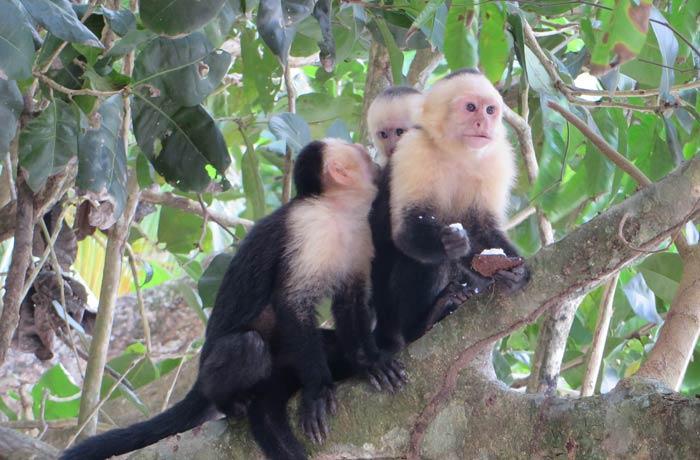 Monos capuchinos en el Parque Nacional de Manuel Antonio Costa Rica por libre