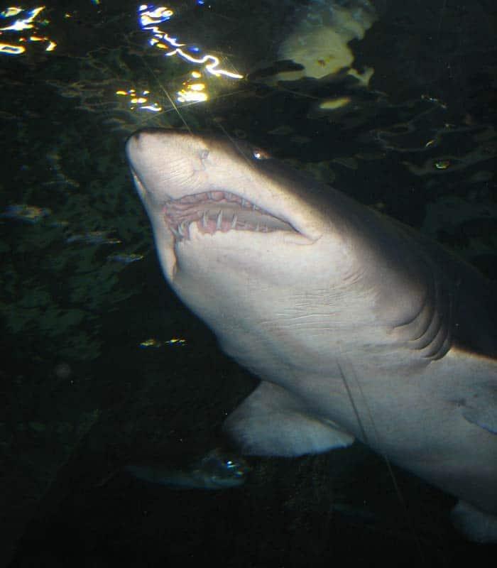 Otro de los tiburones del Acuario qué ver en Melbourne