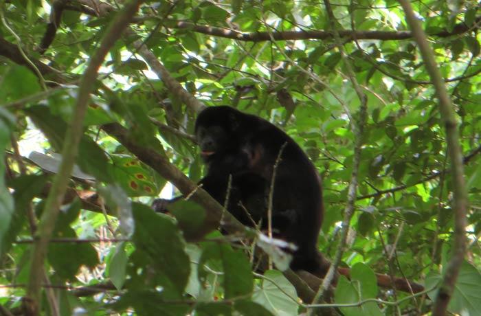 Mono aullador en los alrededores de la catarata La Fortuna