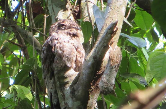 Un búho descansando en un árbol Parque Nacional Manuel Antonio