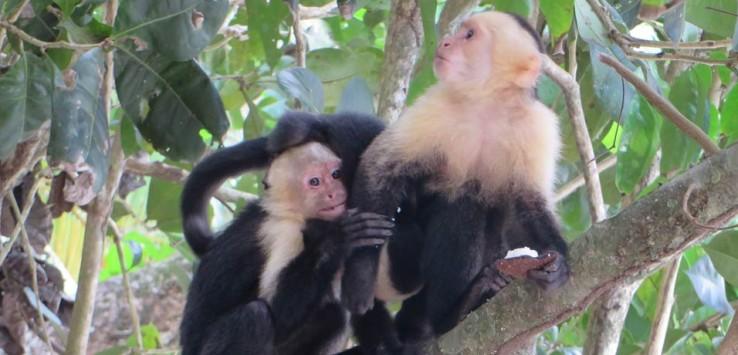 monos Parque Nacional Manuel Antonio