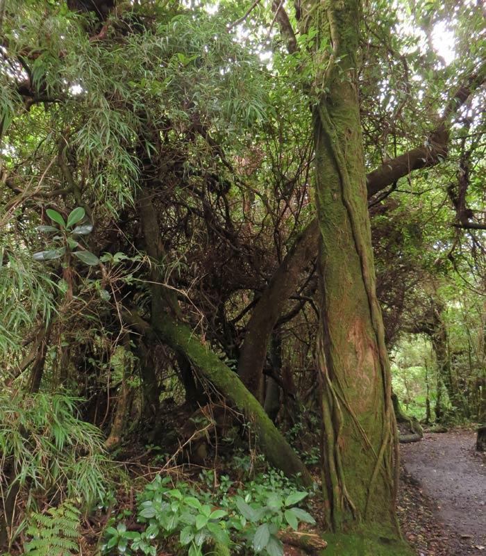 Vegetación del bosque nuboso del Volcán Poás