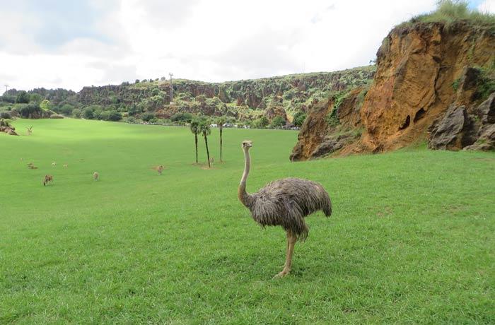 Las avestruces comparten uno de los recintos más grandes del parque junto a las jirafas, elands, ñu azul y antílopes sable zoo de cabárceno