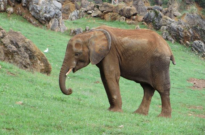 Un pequeño elefante zoo de cabárceno