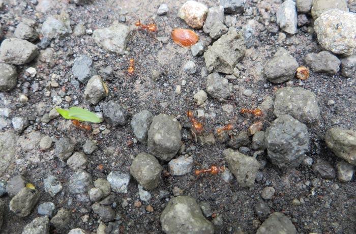 Hormigas rojas gigantes Volcán Arenal