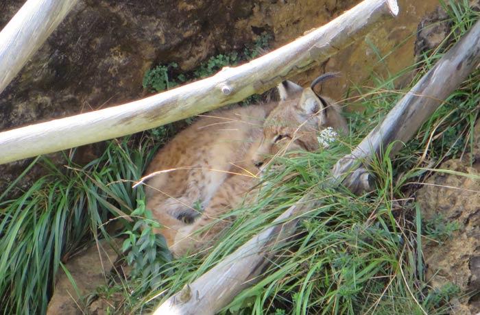 El lince estaba muy escondido zoo de cabárceno
