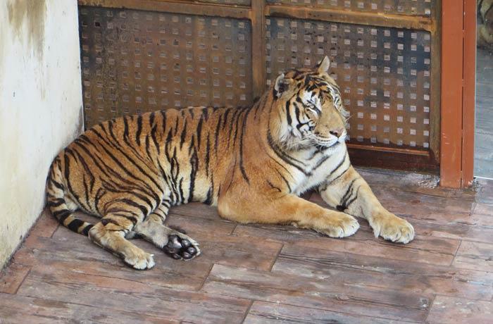 El siempre espectacular tigre zoo de cabárceno