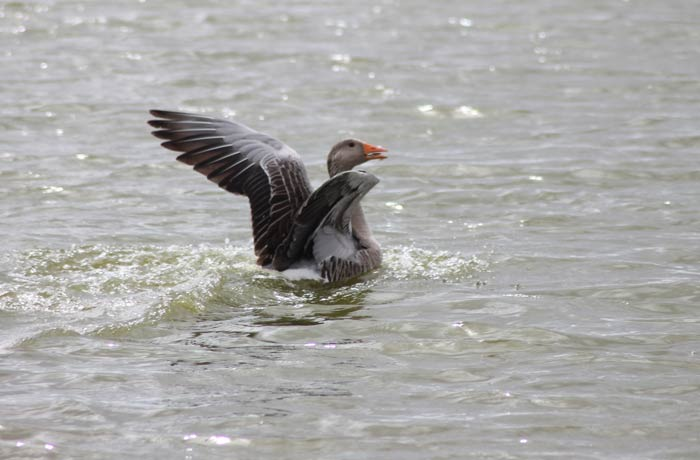 Un ánsar común o ganso se posa en el agua mejor época para visitar las Lagunas de Villafáfila