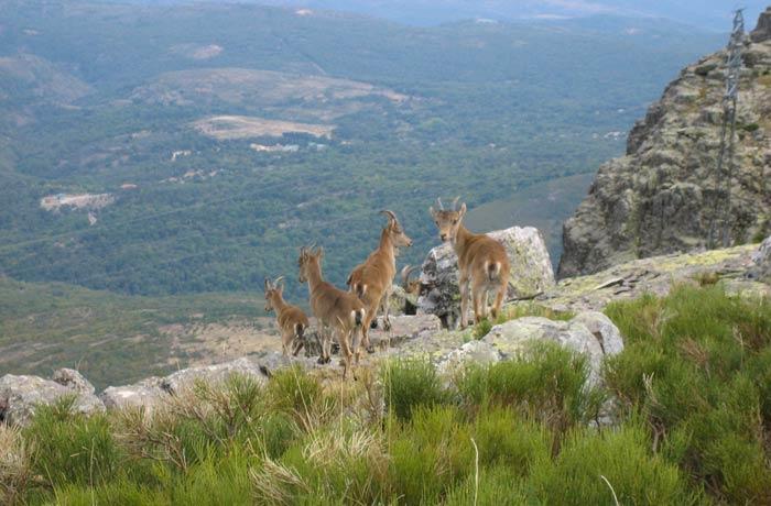 Un pequeño grupo de cabras montesas Peña de Francia