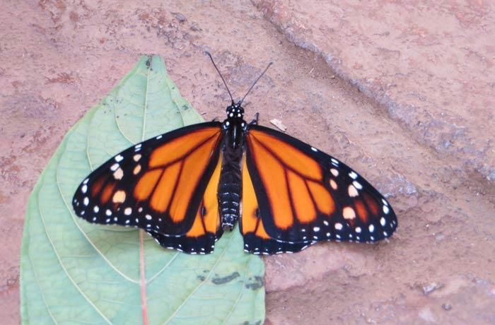 Una de las mariposas que se pueden ver