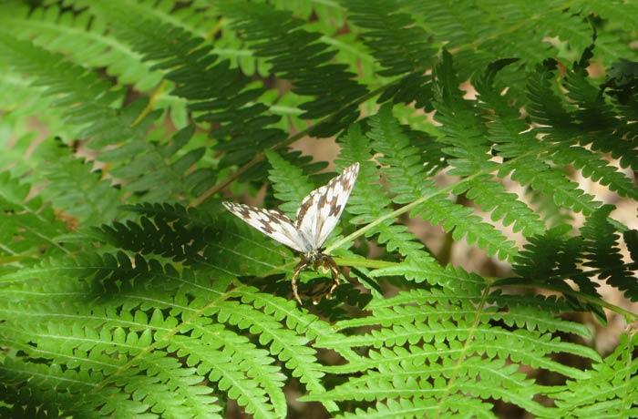 Mariposa posada en un helecho Cascada de Sotillo