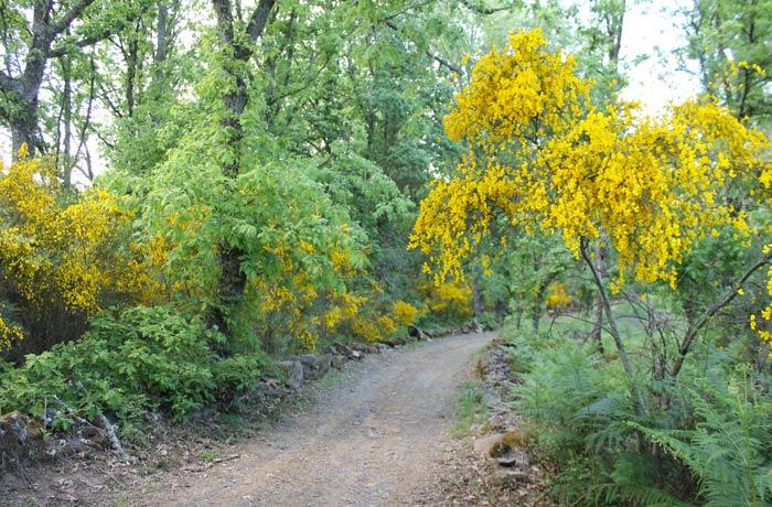 Tras dejar Sabugal, el sendero se introduce en la vegetación donde destaca el amarillo de las escobas