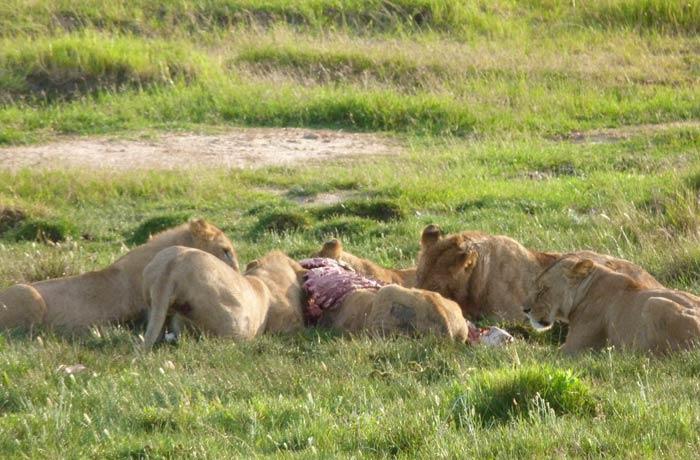 Los leones, en plena actividad por la mañana, desayunan el costillar de una cebra tribu Masái Kenia