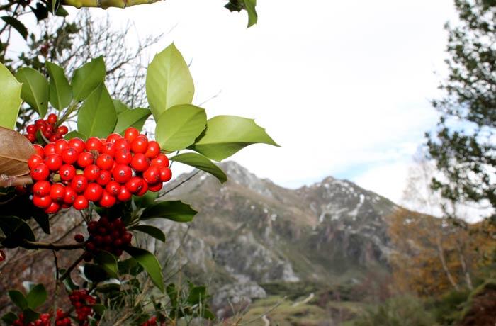 Acebo con las montañas de Somiedo al fondo ruta Lago del Valle