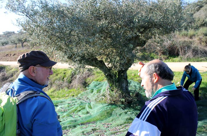 Abilio (elliodeabi.com) y Manolo, de la Posada de los Aceiteros, ante el olivo que varemos