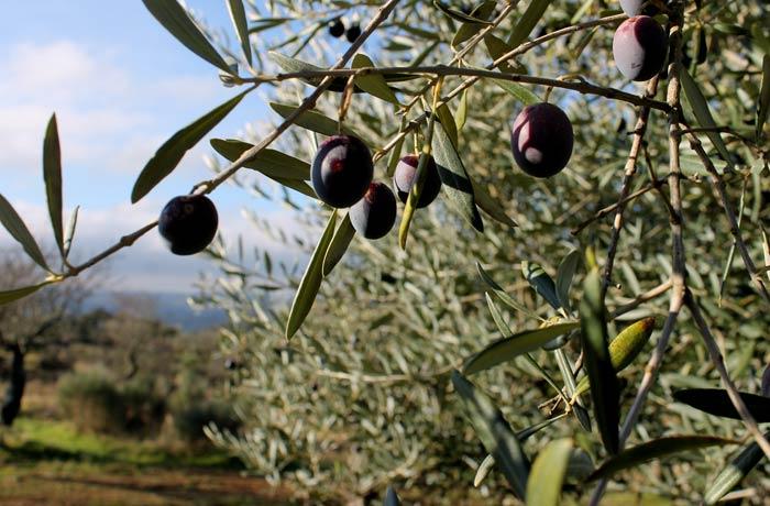 Aceitunas en un olivo de camino a las Arribes del Águeda