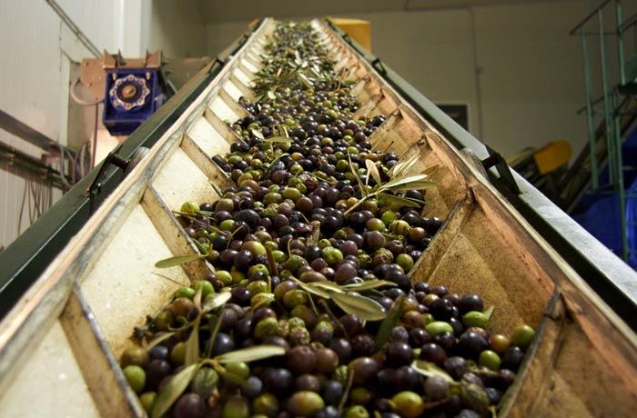 Las aceitunas en la almazara (Fotografía gentileza de trotaburgos.com)