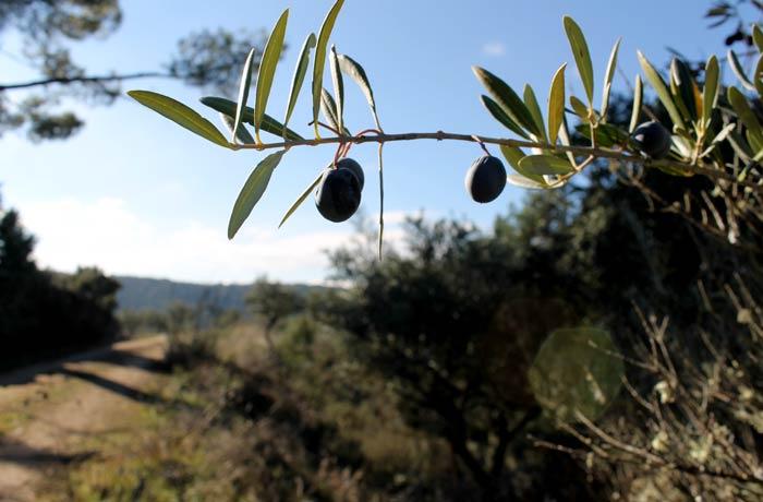 Aceitunas de un olivo de Ahigal de los Aceiteros
