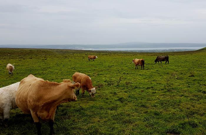 Vacas en una de las verdes praderas irlandesas una semana en Irlanda