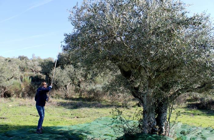 Estefanía vareando un olivo