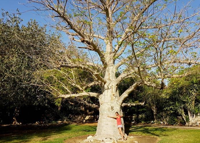 Baobab en Ein Gedi Israel por libre
