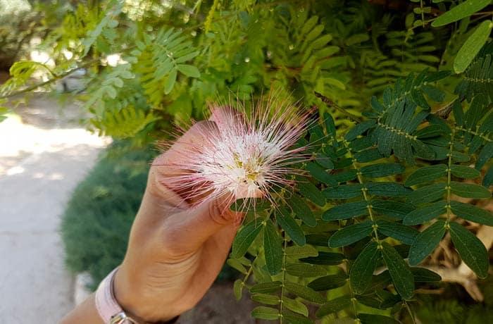 Flor en el jardín botánico de Ein Gedi mar Muerto en Israel