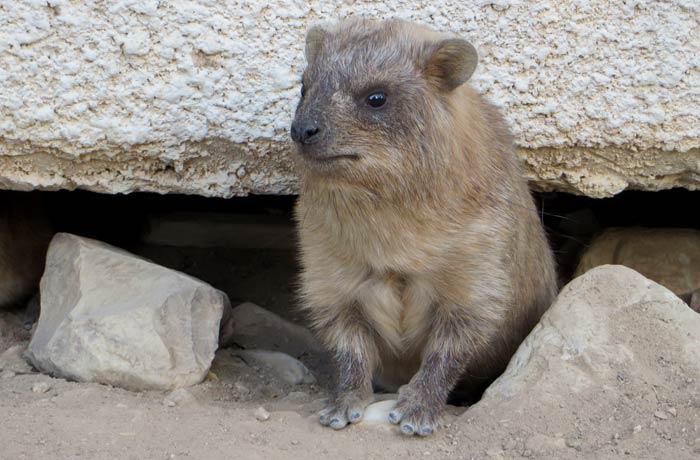 Un pequeño hyrax saliendo debajo de la habitación donde nos alojamos mar Muerto en Israel