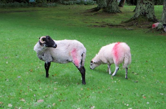 Ovejas que pastan en el parque nacional de Connemara