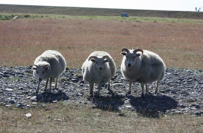 Trío de ovejas Islandia por libre