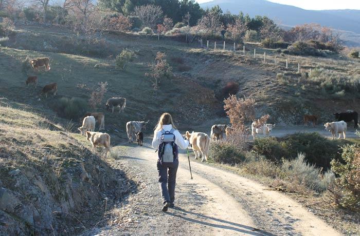Ganado en el camino llegando a Navarredonda de la Rinconada Cueva de la Mora