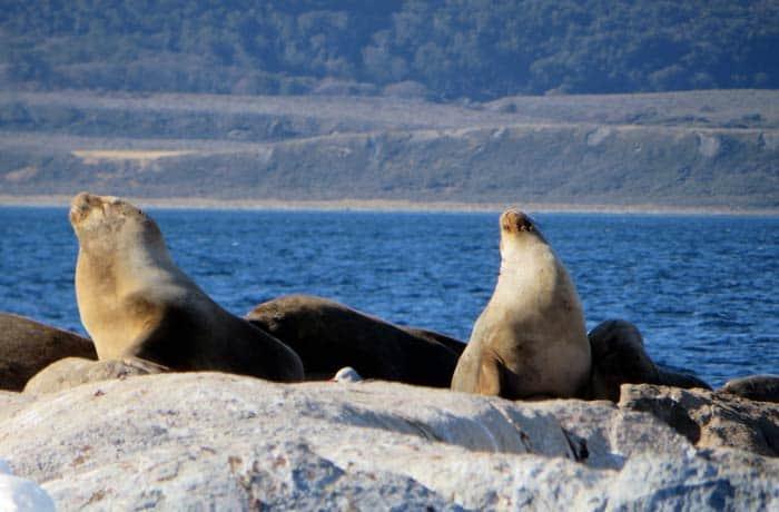 Leones marinos durante a navegación por el canal Beagle en Ushuaia Argentina por libre