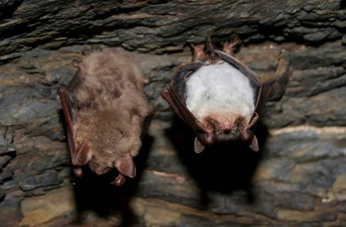 Murciélagos en una de las galerías de Tresminas