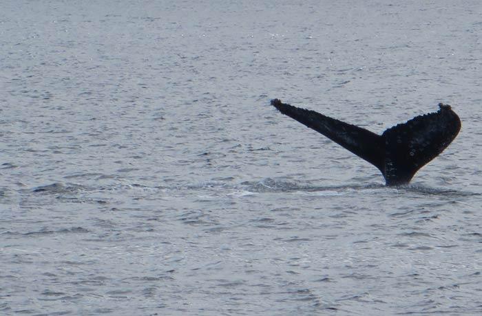 Cola de ballena común que captamos durante el avistamiento viajar a las Azores por libre