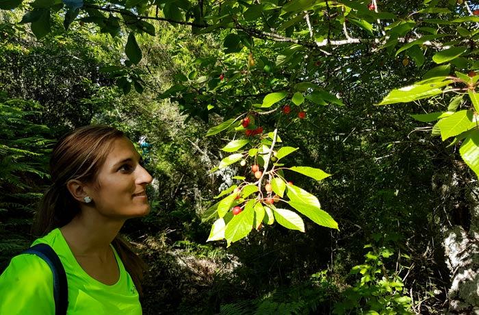 Sabrosas cerezas en uno de los cerezos que podemos ver a lo largo de la ruta chorrera de Jigareo