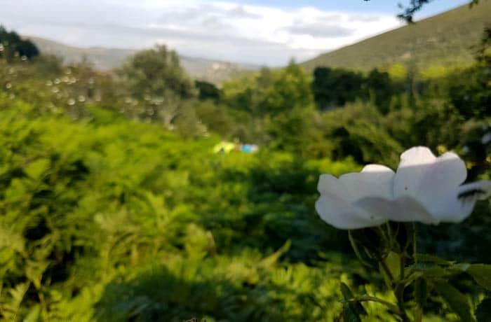 Flor de jara al comienzo de la ruta chorrera de Jigareo
