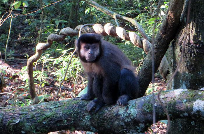 Mono caí Cataratas del Iguazú