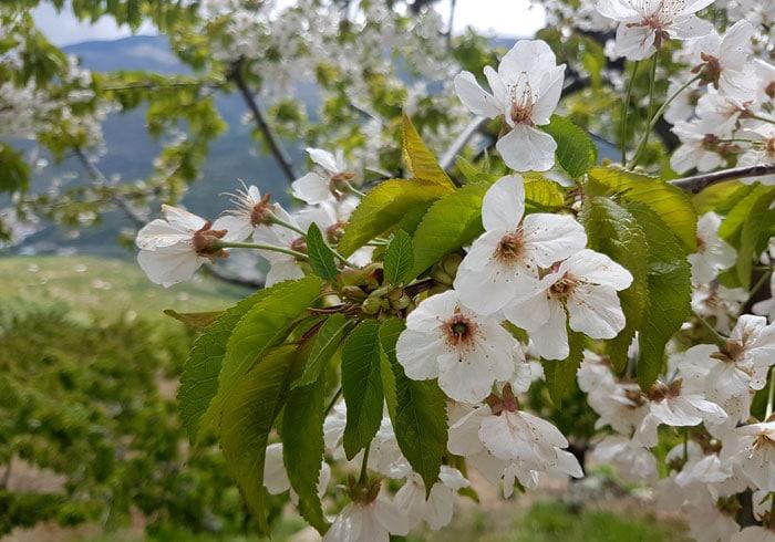 La flor de los cerezos del Jerte