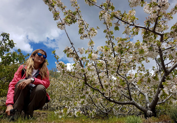 Cerezos en flor en el camino de regreso