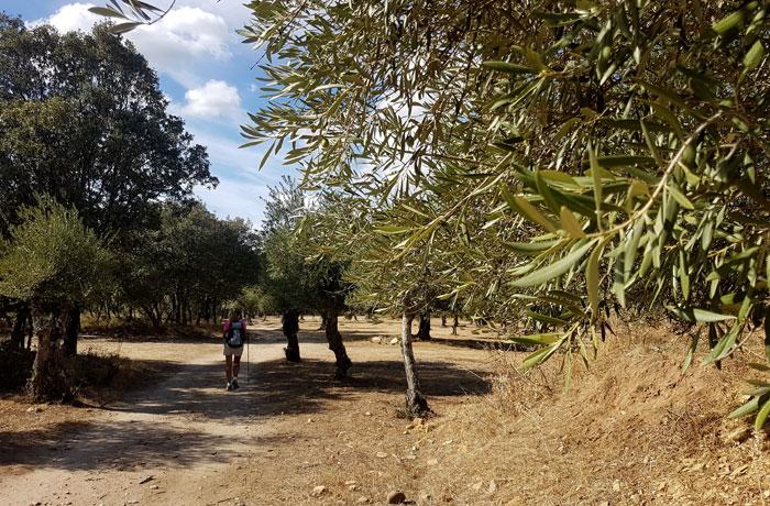 Campo de olivos antes de llegar a Cabaloria