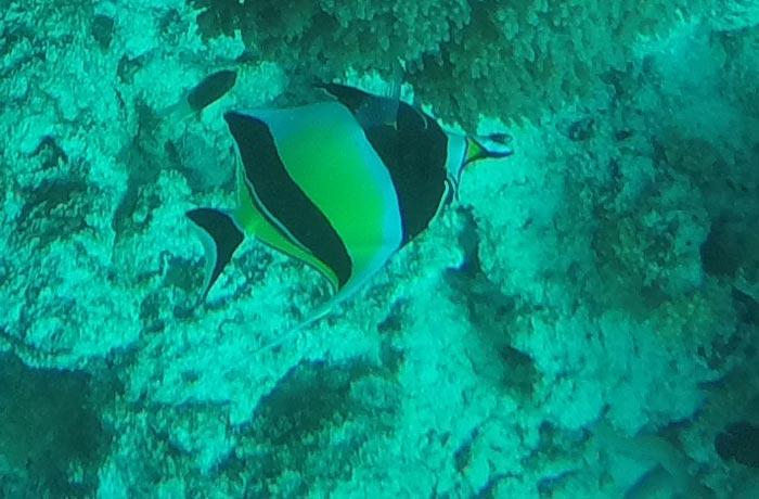 Ídolo moro, en el atolón de Mnemba buceo en Zanzíbar