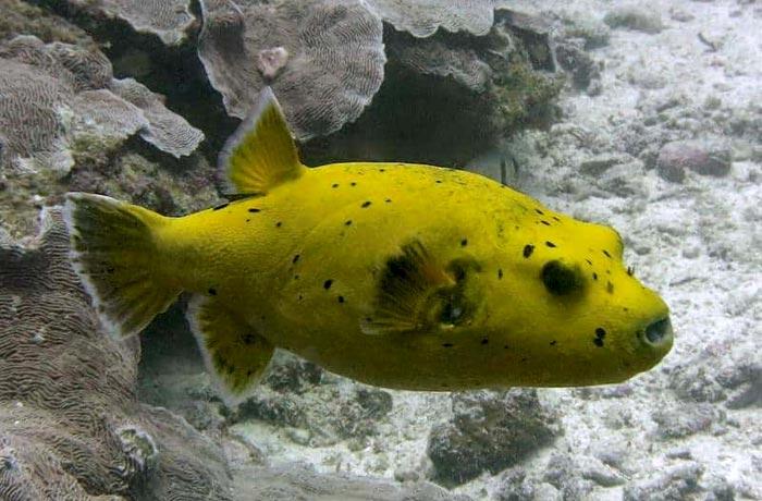pez globo buceo en Zanzíbar