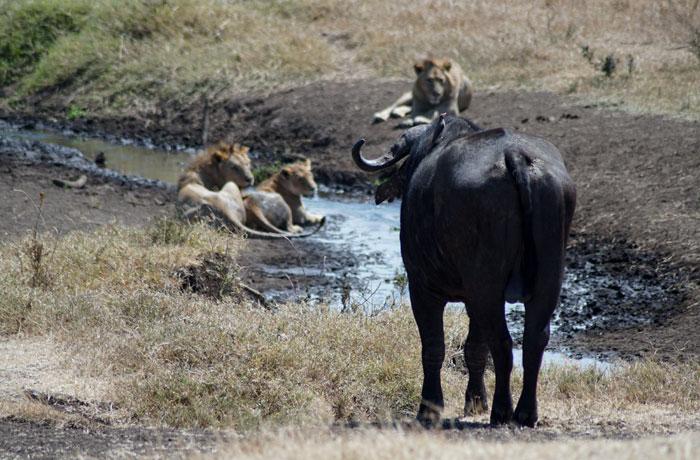 Búfalo y leones acechando en Ngorongoro consejos safari en Tanzania